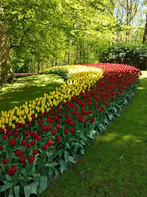 Tulips only: picture of our Keukenhof tour.