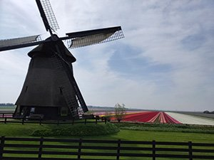 Beemster polder: windmills and flower fields
