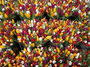 tulips at the flower auction